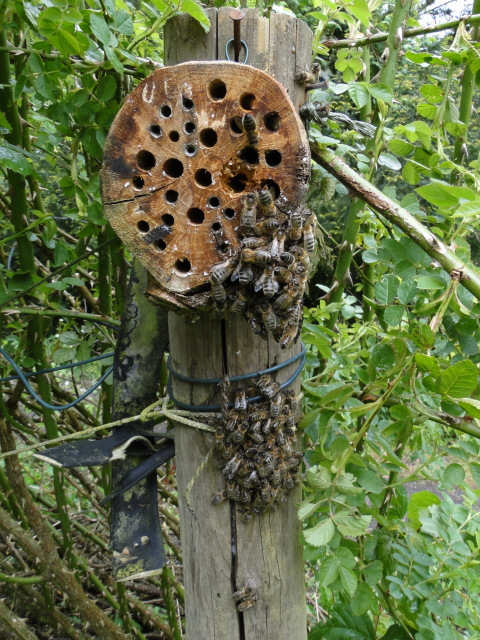 Zwerm honingbijen