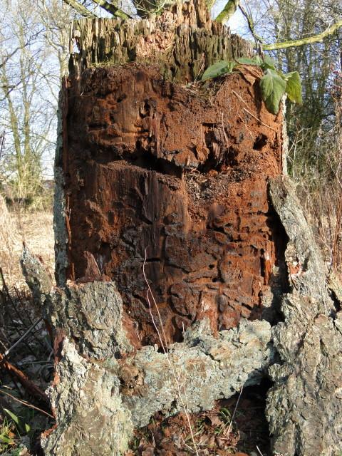 Gangenstelsel in oude eikenstam