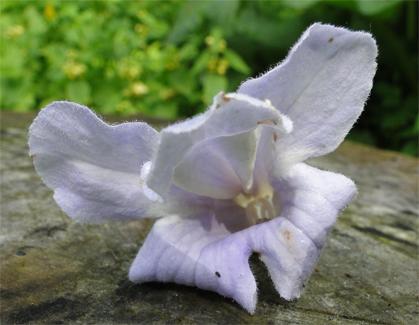 Anna Paulownaboom bloem