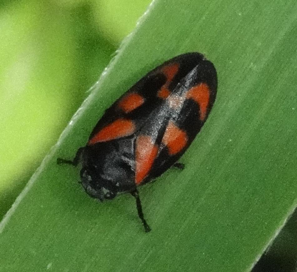 Schuimcicade Cercopis vulnerata
