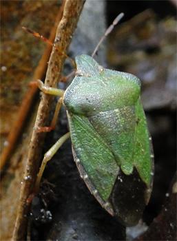 Palomena sp. een soort schildwants.