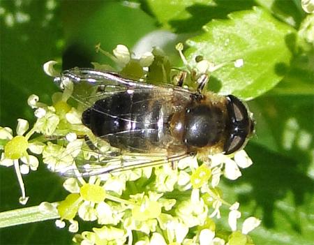 Zweefvlieg op zwartmoeskervel (april)