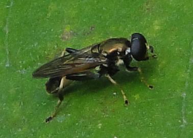 Zweefvlieg op groot hoefblad