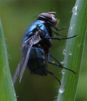 Soort blauwe vleesvlieg Calliphora sp.