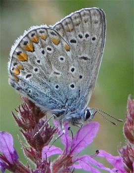 Icarusblauwtje Polyommatus Icarus op kattenstaart