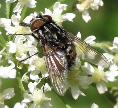 Gramphomyia maculata, een echte vlieg (Muscidae).