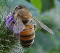 Honingbij, Apis mellifera, werkster.