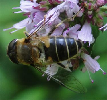 Kegelbijvlieg, Eristalis pertinax vrouwtje