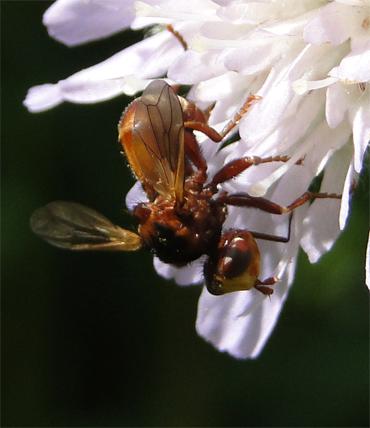 Siccus ferrugineus, een soort blaaskopvlieg gespecialiseerd op beemdkroon.