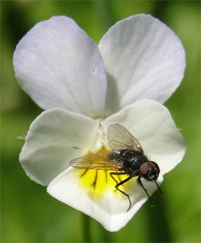 Huisvlieg op viooltje