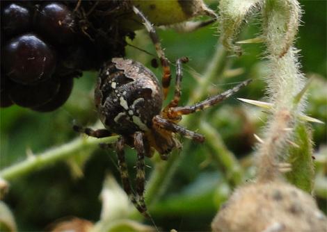 Kruisspin, Araneus diadematus.