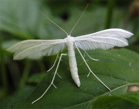 Vedermot Pterophorus pentadactyla