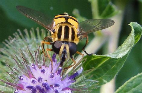 Waterzweefvlieg of een soort pendelzweefvlieg
