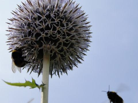 Bijen bij kogeldistel.