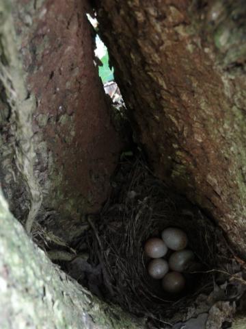 Nest roodborstje.